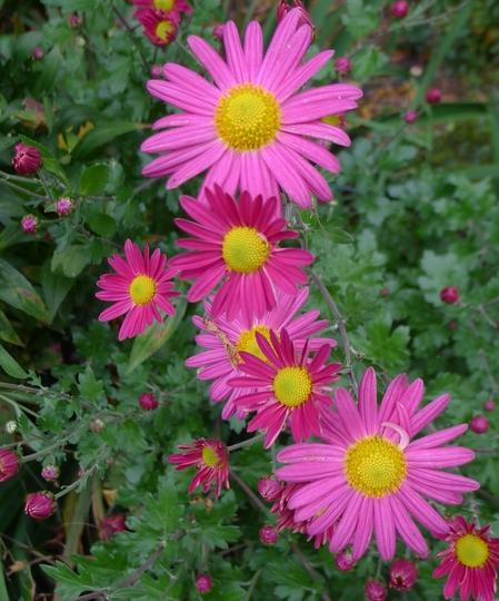 Chrysanthemum (pink) - 2014 (Chrysanthemum)