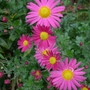 Chrysanthemum_pink_2014
