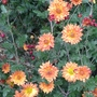 Chrysanthemum_orange_2014