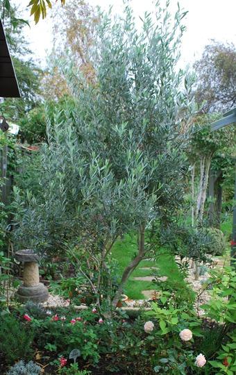 Olive Tree....... (Olea europaea)