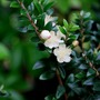 Myrtus.... (Myrtus communis)