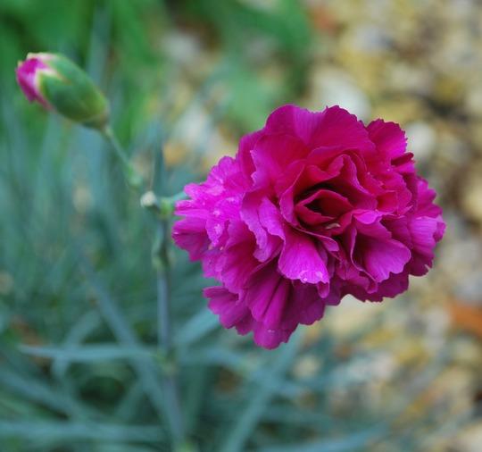 More Dianthus..... (dianthus)