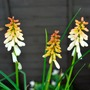 Kniphofia Orange Vanilla Popiscle. (Kniphofia Orange Vanilla Popiscle.)
