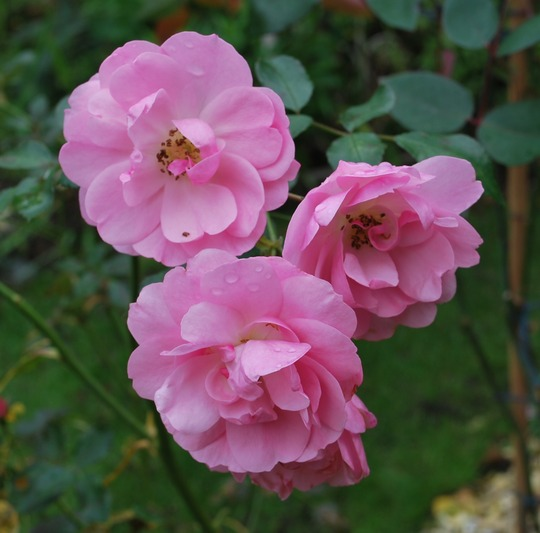 Rosa Pretty Polly.. (Rose Pretty Polly. Dwarf Patio Rose)