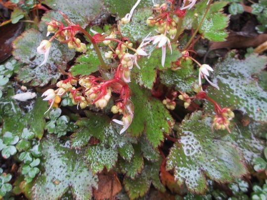 """Flowers of Saxifraga fortunei """"Mount Nachi. (Saxifraga fortunei var. """"Mount Nachi"""")"""