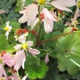 "The pink flowers of Saxifraga fortunei ""Cheap confection"" (Saxifraga fortunei var. ""Cheap Confection"")"