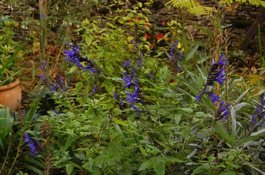 "Salvia ""Black and Blue"" (Salvia patens (Sage))"