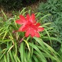 Schizostylis or 'Kaffir Lily' coccinea 'Major'