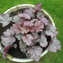 Heuchera 'Sugarberry'