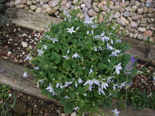 Campanula glomerata- White reflowering after being cut back this summer (Campanula glomerata)