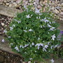 Campanula glomerata- White reflowering after being cut back this summer (Campanula glomerata)