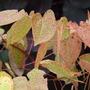 Epimedium warleyense Ellen Willmott (epimedium warleyense)