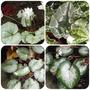 Cyclamen hederfolium foliage (Cyclamen hederefolium)