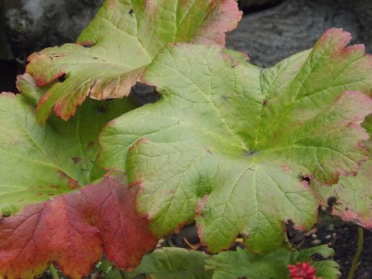 Autumn colour on Indian Rhubarb (Darmera peltata (Indian Rhubarb))