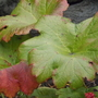 Autumn colour on Indian Rhubarb (Darmera peltata (Indian Rhubarb))