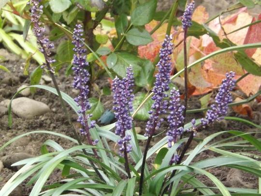 Liriope muscari Royal Purple (Liriope muscari)
