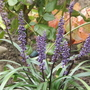 Liriope muscari Royal Purple (Liriope muscari)