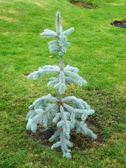 Picea pungens 'Koster' (Colorado Blue Spruce) (Picea pungens 'Koster')