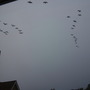 36 geese flying over the house