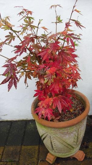 Acer palmatum  'Orange Dream' (Acer palmatum (Japanese maple))