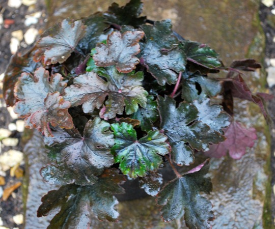 Heucherella Burnished Bronze.. (Heucherella Burnished Bronze..)