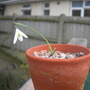 Galanthus peshmenii (Galanthus peshmenii)