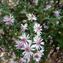 Aster 'Lady in Black' flowers (Aster lateriflorus (Lady in Black))