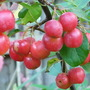 Malus - Red Sentinel (Malus x zumi (Crab apple))