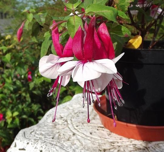 Fuchsia 'Earre Barre'