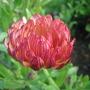 Marigold (Calendula officinalis (English marigold))