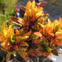 Croton 'Petra' (Codiaeum variegatum)