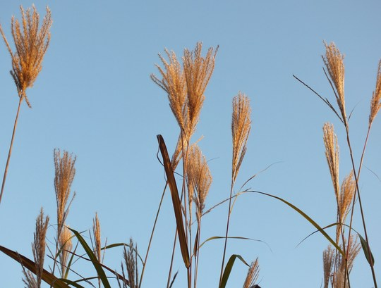 Miscanthus Sinensis 'Silberfeder' (silver feather) (Miscanthus sinensis (Miscanthus))