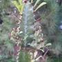 Euphorbia_trigona