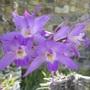 Orchid Dendrobium hercoglossum (dendrobium hercoglossum)