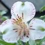 Alstromeria 'Elvira' (Alstroemeria aurantiaca (Peruvian Lily))