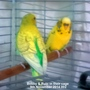 Bobby & Rubi in their cage 09-11-2014 002
