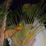Traveller's Palms - Ravenala madagascariensis (Traveller's Palms - Ravenala madagascariensis)