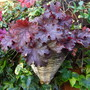 Heuchera wall basket