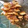 Fungus on our old Laburnum tree trunk.
