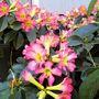 Vireya Rhododendron 'Robert Bates'