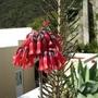 Kalanchoe delagoensis (Bryophyllum delagoense)