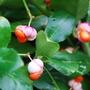 Euonymus europaeus (Euonymus europaeus (Common Spindle))