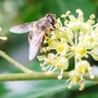 Honey-bee on Ivy