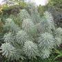 Euphorbia characias (Spurge)