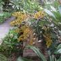 Blooming Schefflera (Schefflera)