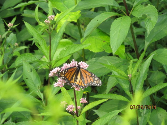 Joe Pye Weed (which it absolutely is not!)