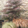 Cryptomeria japonica elegans - for Simbad (Cryptomeria japonica (Japanese cedar))
