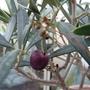 Olea europea (Olive Tree) (Olea europaea (Aceituna))