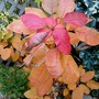 Cotinus winter colour..... (Cotinus coggygria (Smoke bush) Grace.)