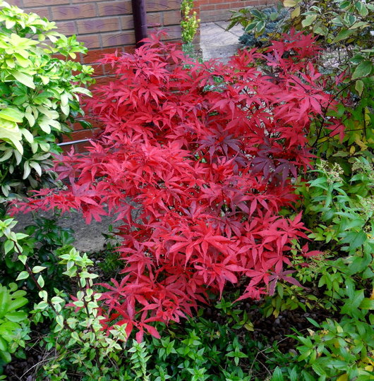 'Skeeter's Broom' looking fab (Acer palmatum 'Skeeter's Broom')
